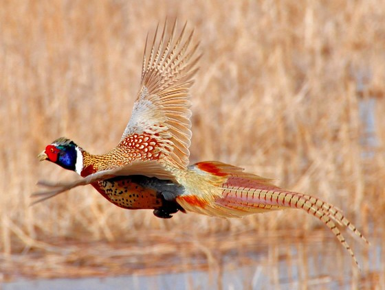 2020 Wisconsin Ring-Necked Pheasant Season Opens Oct. 17