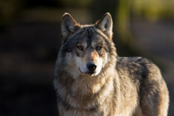 DNR Seeking Public Comment On Fall 2021 Wolf Harvest Season And Future Of Wolf Management